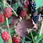 Photo Sunday - Blackberries