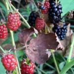 Photo Sunday - Blackberries