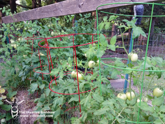 roma tomatoes in the straw bale garden