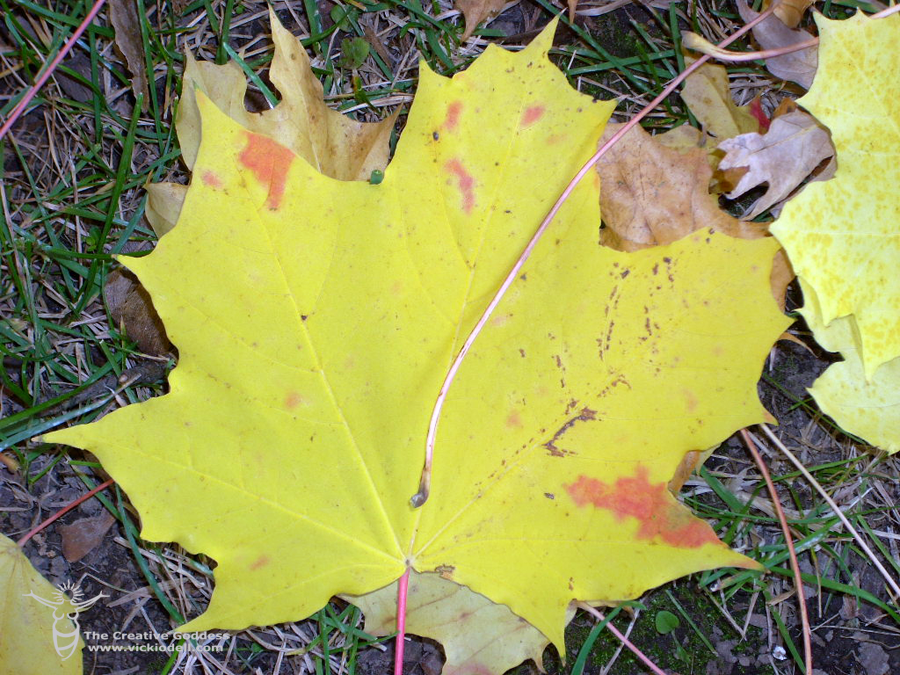 Fall, Maple Trees, Yellow Leaves, The Creative Goddess' Back Yard