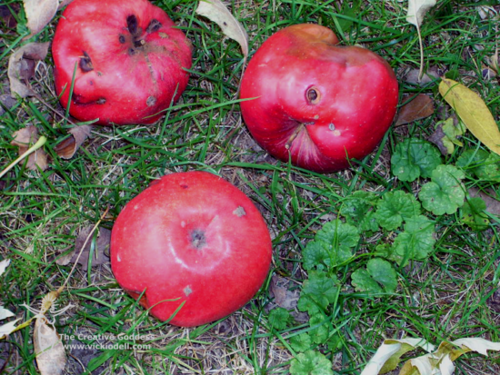 apples, orchard, rotten apple, fall