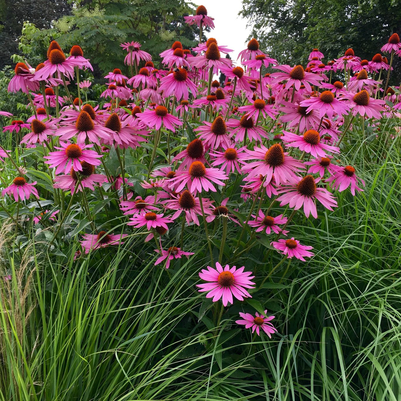 Herb of the Month - Enchinacea