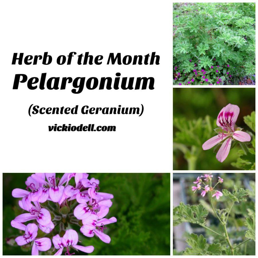 Herb of the Month - Pelargonium