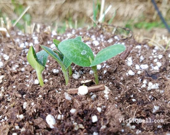 Straw Bale Garden 2017 - Yellow Squash Seedling