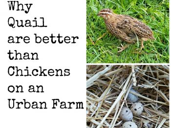 Quail - Best Egg Layers for an Urban Farm