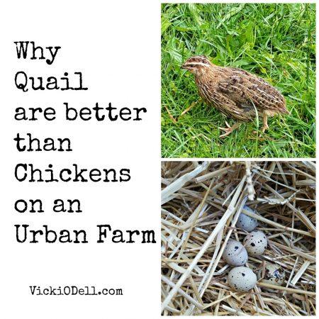Quail - Best Egg Layers for an Urban Farm